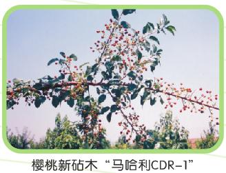 大樱桃砧木