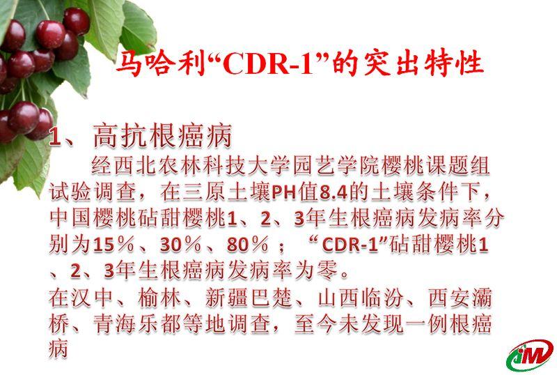 马哈利CDR-1大樱桃砧木