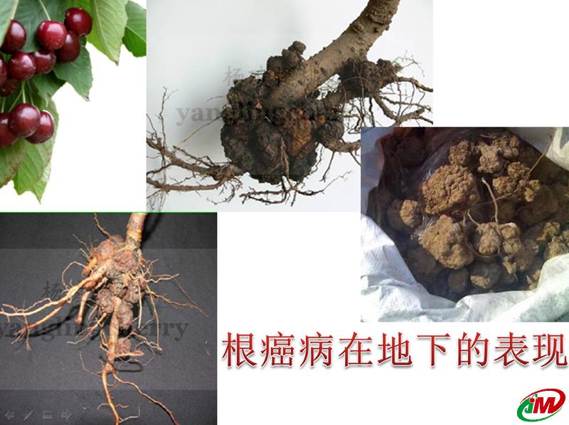 樱桃根癌病在地下的表现