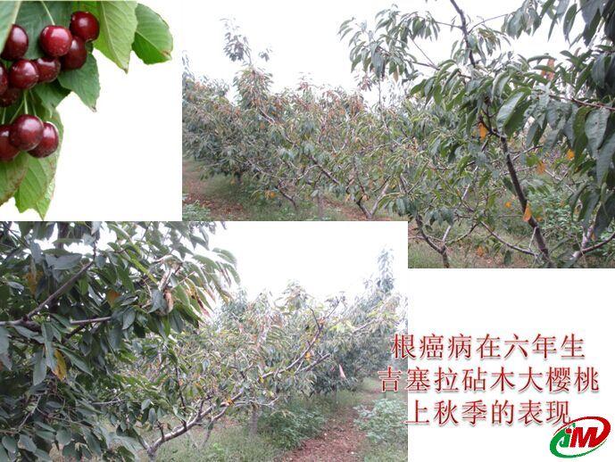 根癌病在六年生吉塞拉砧木大樱桃上秋季的表现