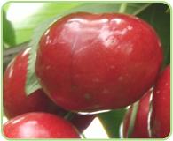 种植资源圃樱桃丰收时