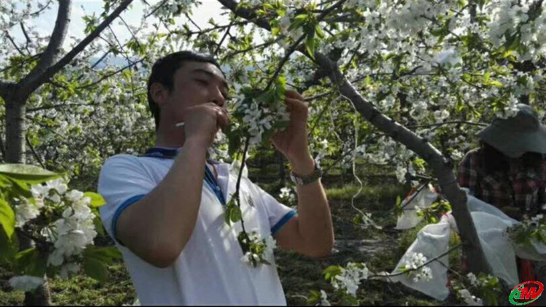 杨凌吉美农林科技发展公司全面落实大樱桃种苗产业发展