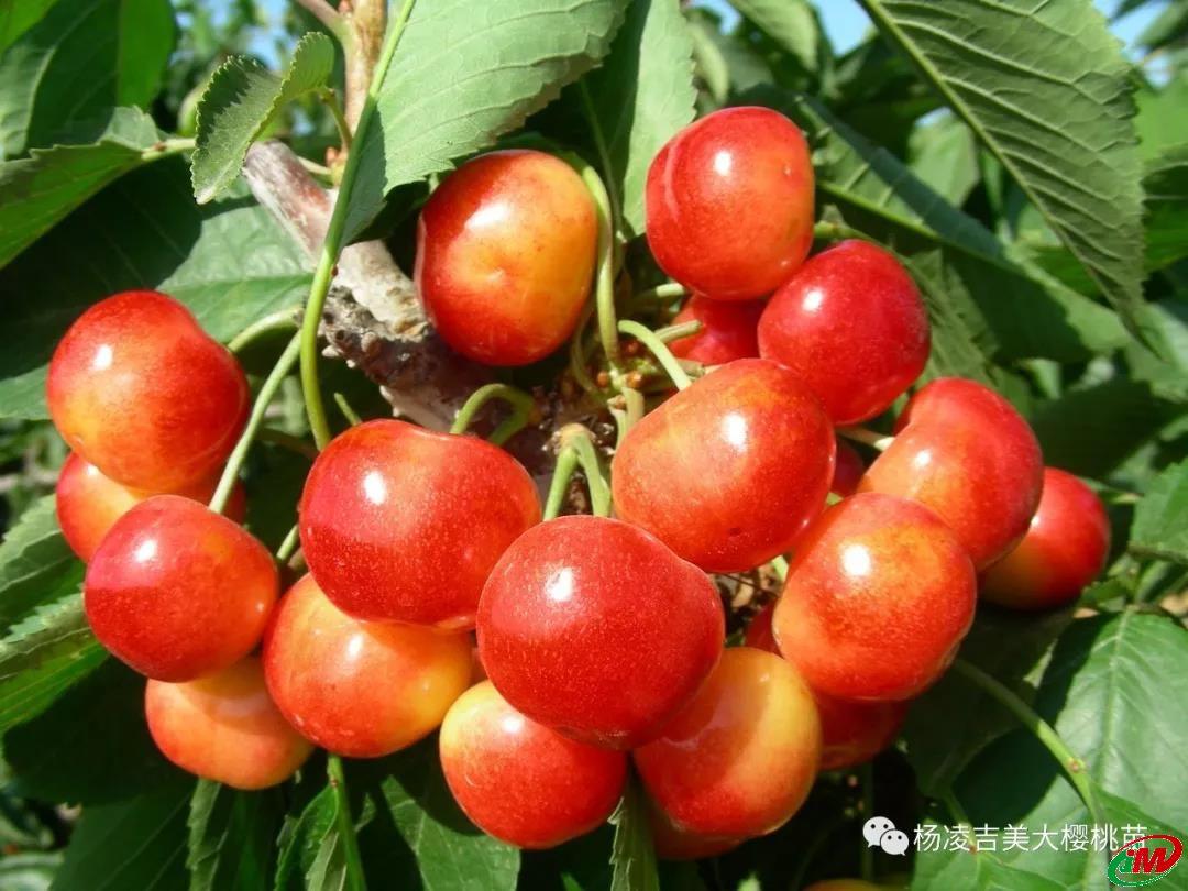 优良大樱桃品种雷尼尔