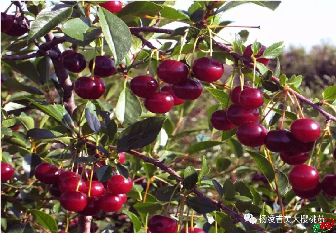 酸樱桃--枚丽